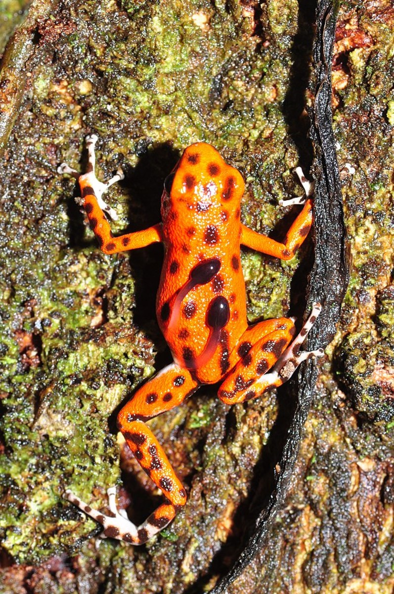 A color morph of the strawberry poison dart frog carries the tadpoles to their leaf pools.