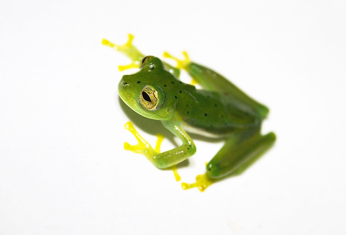 An emerald glass frog on a lightbox