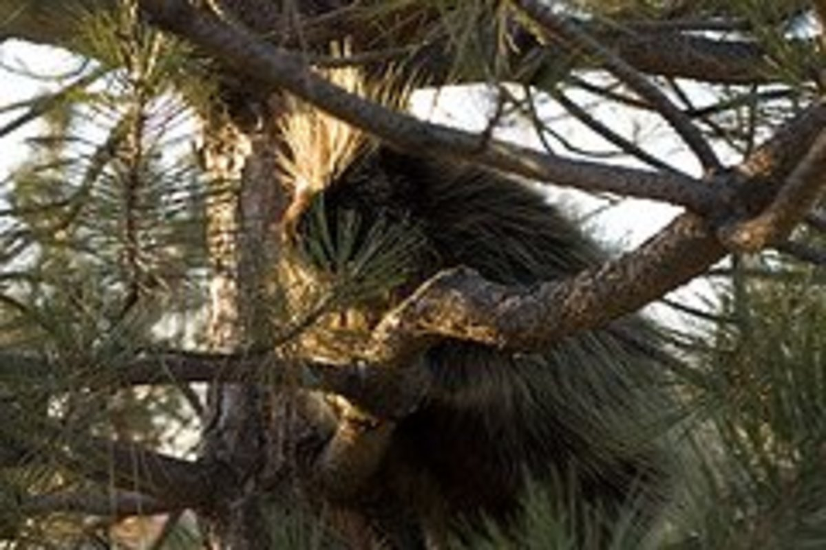 A porcupine in Coconino National Forest