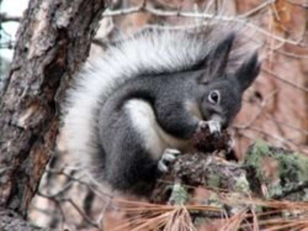 Abert's Squirrel are all over the Coconino National Forest