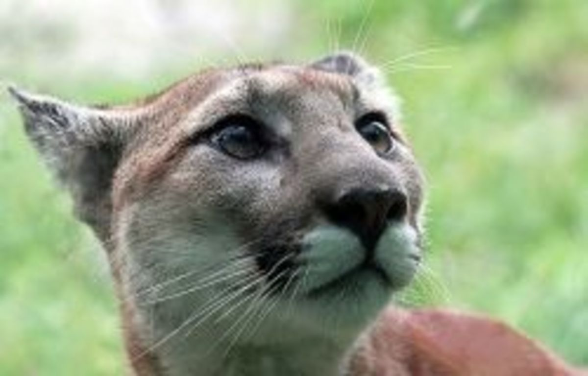 There are mountain lions in Coconino National Forest