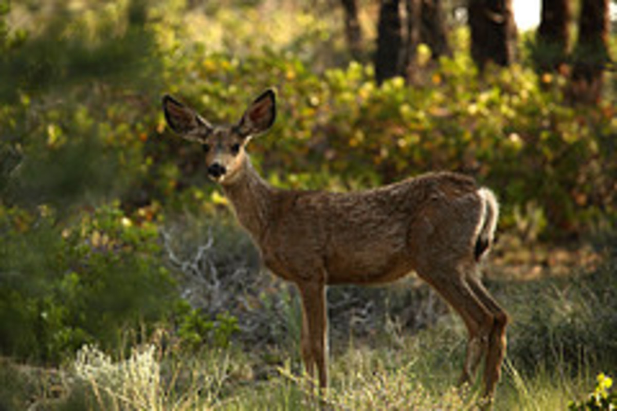 Mule deer are abundant in Coconino National Forest