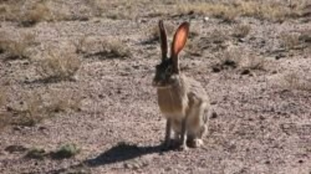 Jackrabbits are plentiful in Coconino National Forest