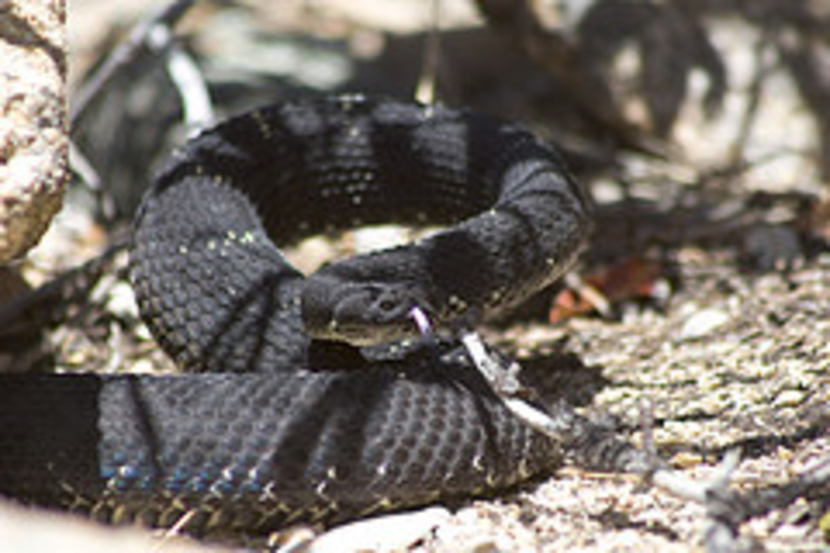 Rattlesnakes can be found in Coconino National Forest