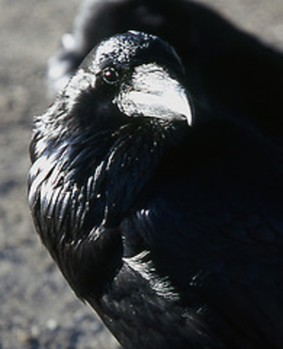 The Raven of Coconino National Forest