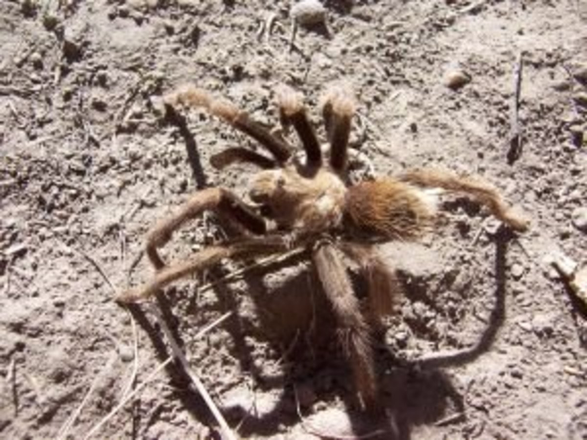 Terantulas live in Coconino National Forest