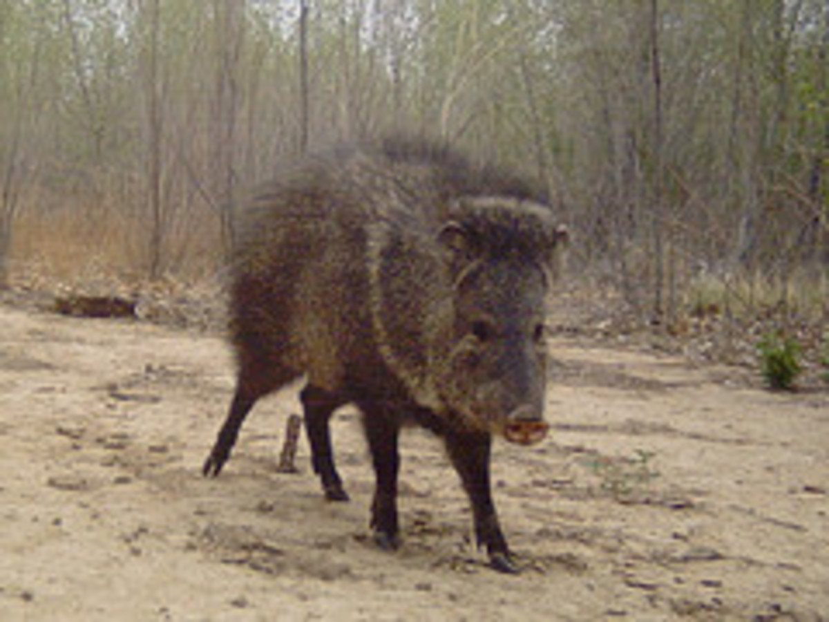 Javelina in Coconino National Forest