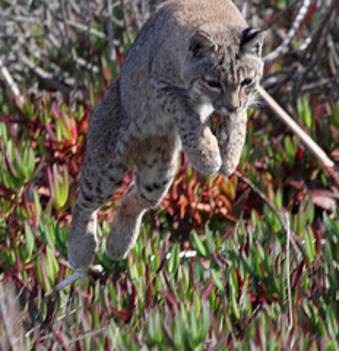 Bobcats live in Coconino National Forest