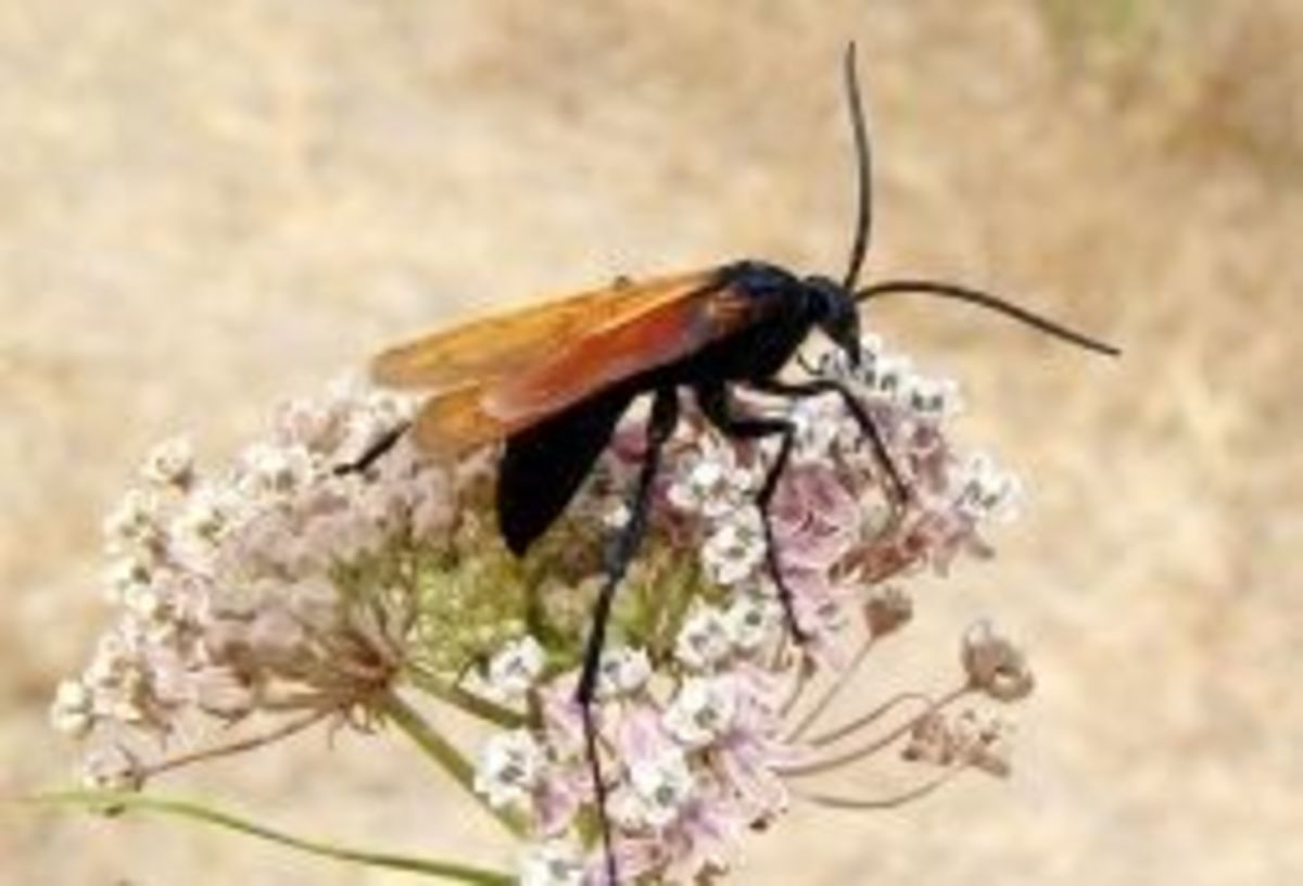 Terantula wasps buzz around the Coconino National Forest