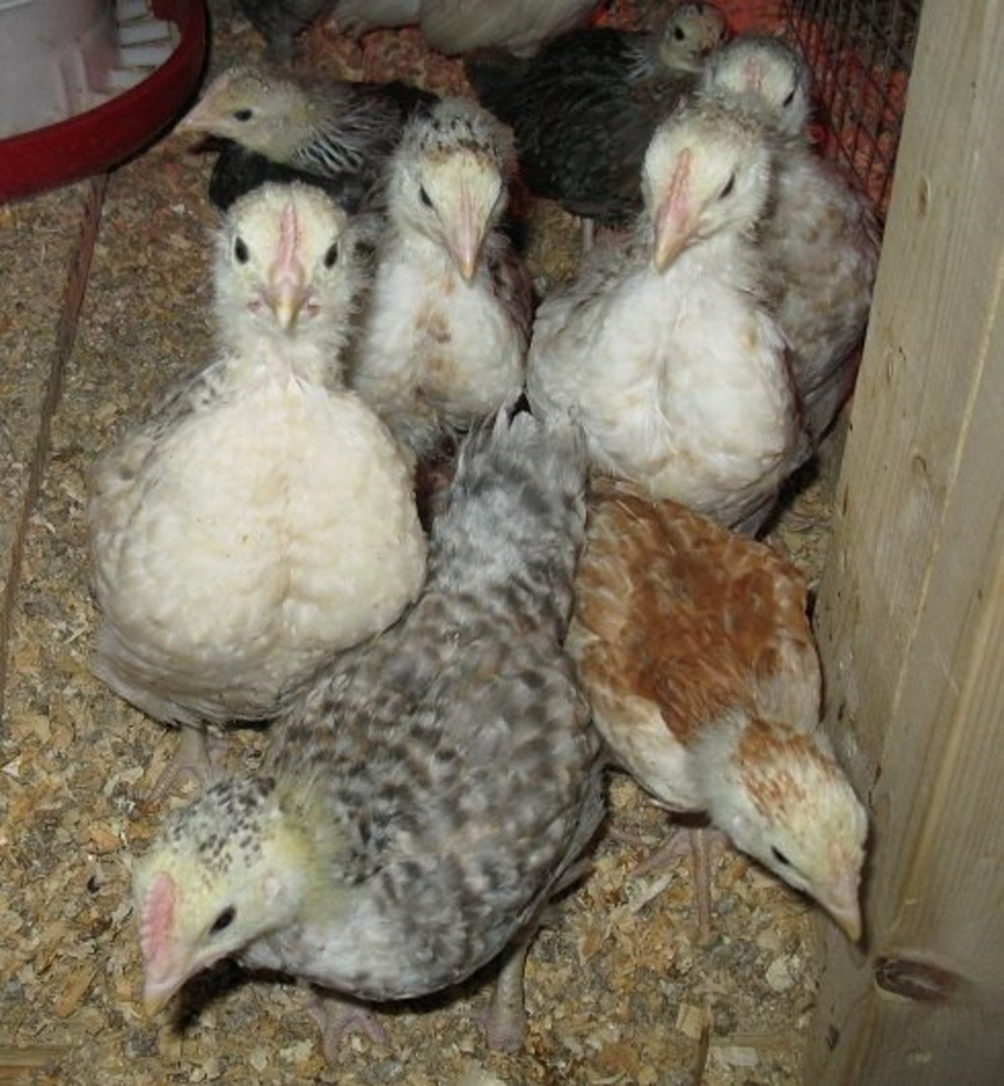 Friendly Euskal Oiloa Chicks in the brooder!