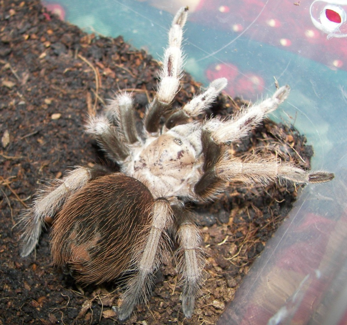 The western desert tarantula, Arizona blond tarantula or Mexican blond tarantula.