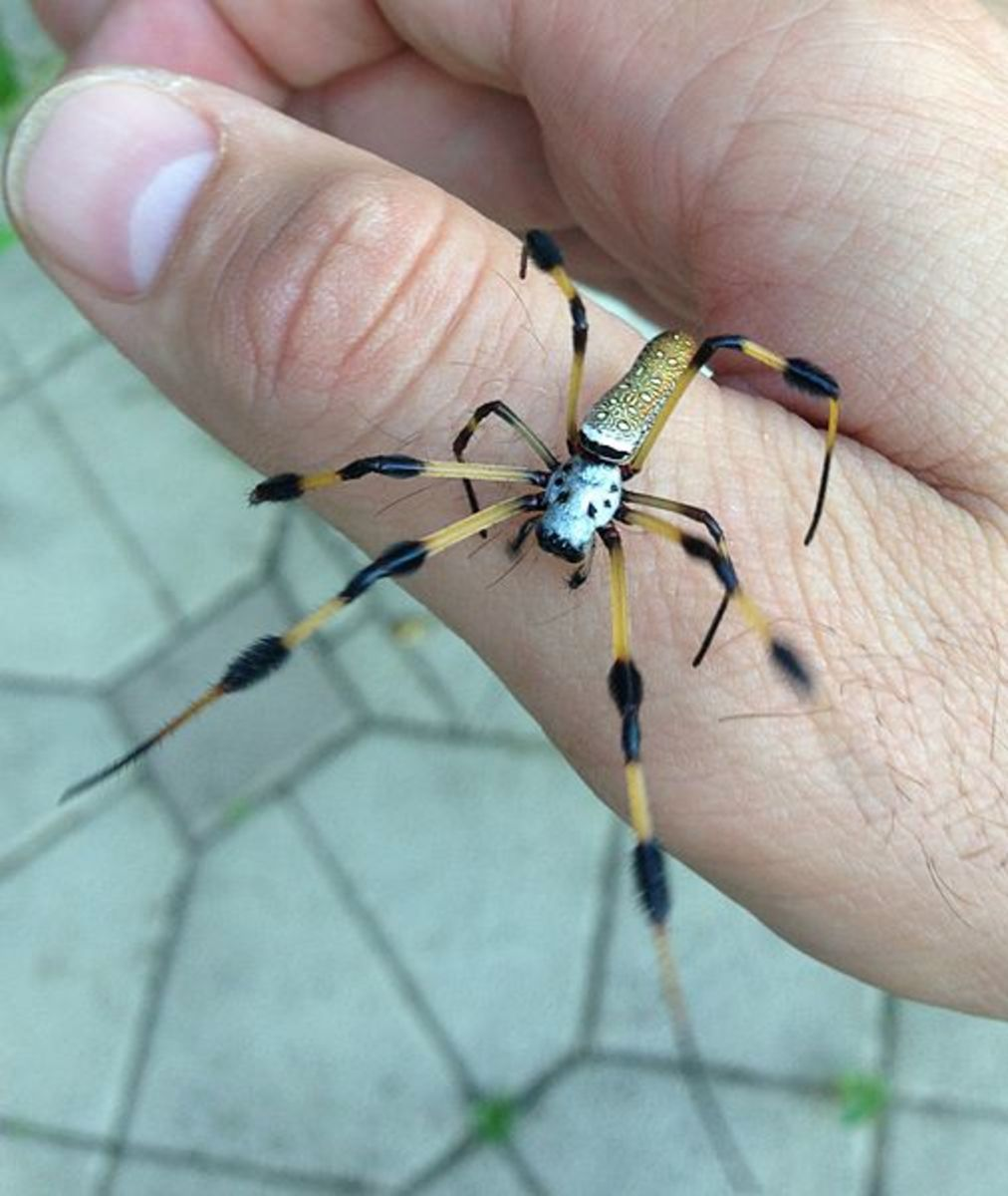 Mature female Nephila clavipes from Davie, Florida. Nephila spiders are known to be the oldest surviving genus of spiders, with a fossilized specimen discovered to be from 165 million years ago.