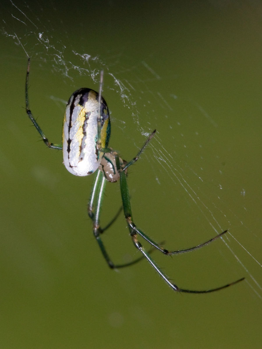 Orchard Orbweaver in Nashville, Tennessee.