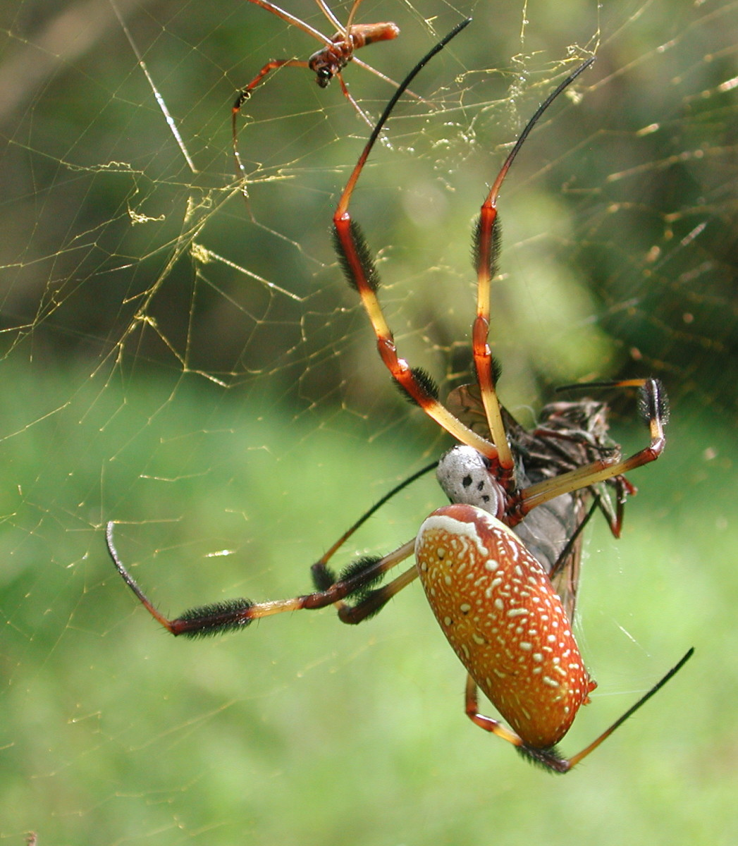 "The name of the spider's genus: ""Nephila"" comes from Ancient Greek. It means ""fond of spinning"", derived from the words: ""nen"" (to spin) and ""philos"" (to love)."