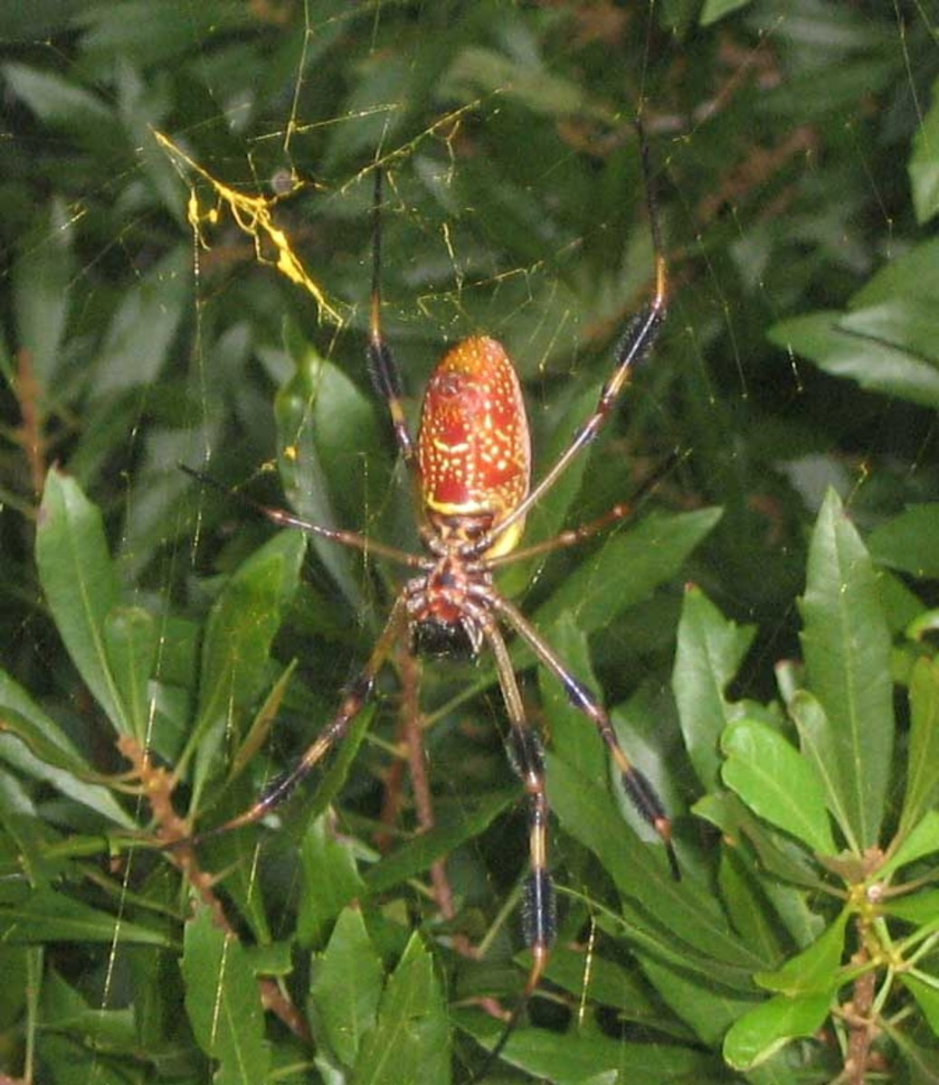 Banana spider (golden silk orb-weaver) pictured in Gainesville, Florida, USA. The spider's red body with white and yellow markings can be seen, as well as its black and yellow stripey legs.  The spider's golden-colored web can also be clearly seen.