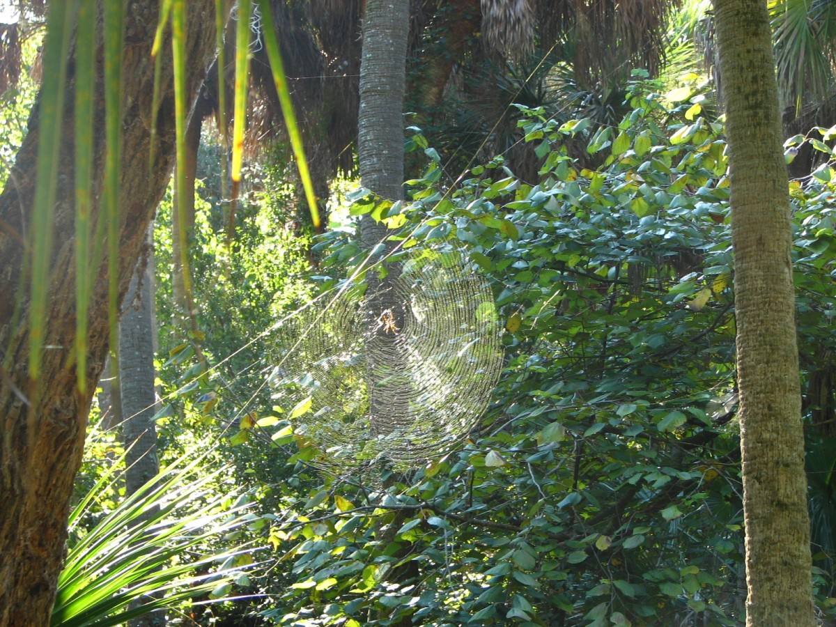 Banana spider web at Merritt Island National Wildlife Refuge, Florida, USA.  Nobody is certain why the webs are yellow, but evidence suggests it serves two purposes: brightly lit silk attracts bees, and in the shade, the silk blends in as camouflage.