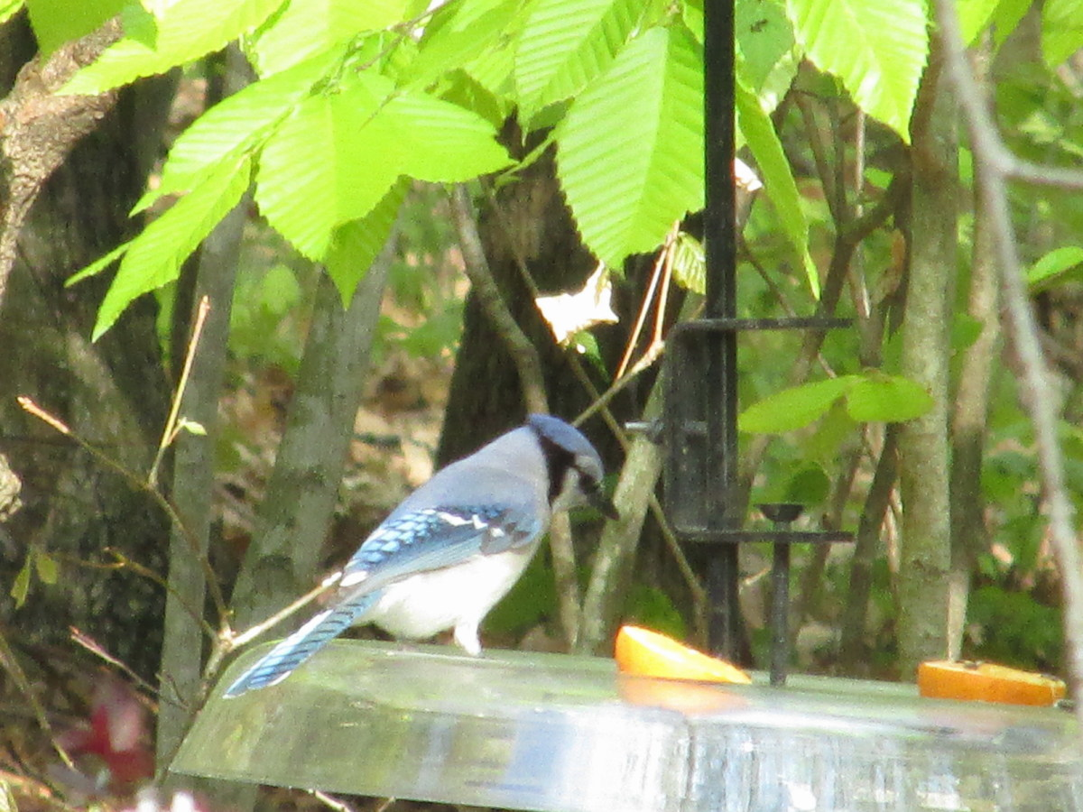 Blue Jay eyeing seeds in the squirrel baffle/seed catcher tray