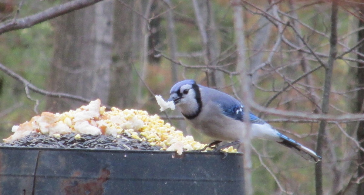 Blue jays love bread, crackers, any day-old bakery items!