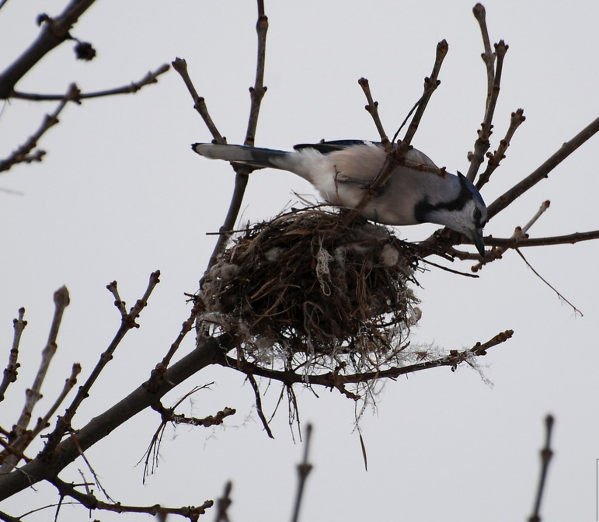 Blue jay nests incorporate bits of thread, and all kinds of found objects.  They love to decorate!