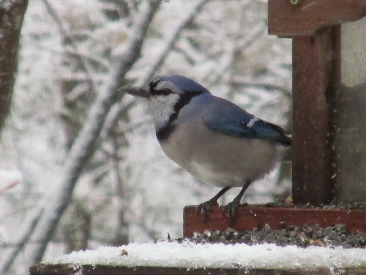 Blue Jays visit the bird feeders frequently in the winter time.  I occasionally add peanuts as a treat for them.  That gives them additional oils that help their feathers stay in tip-top shape; and the fats maintain warmth and energy levels.