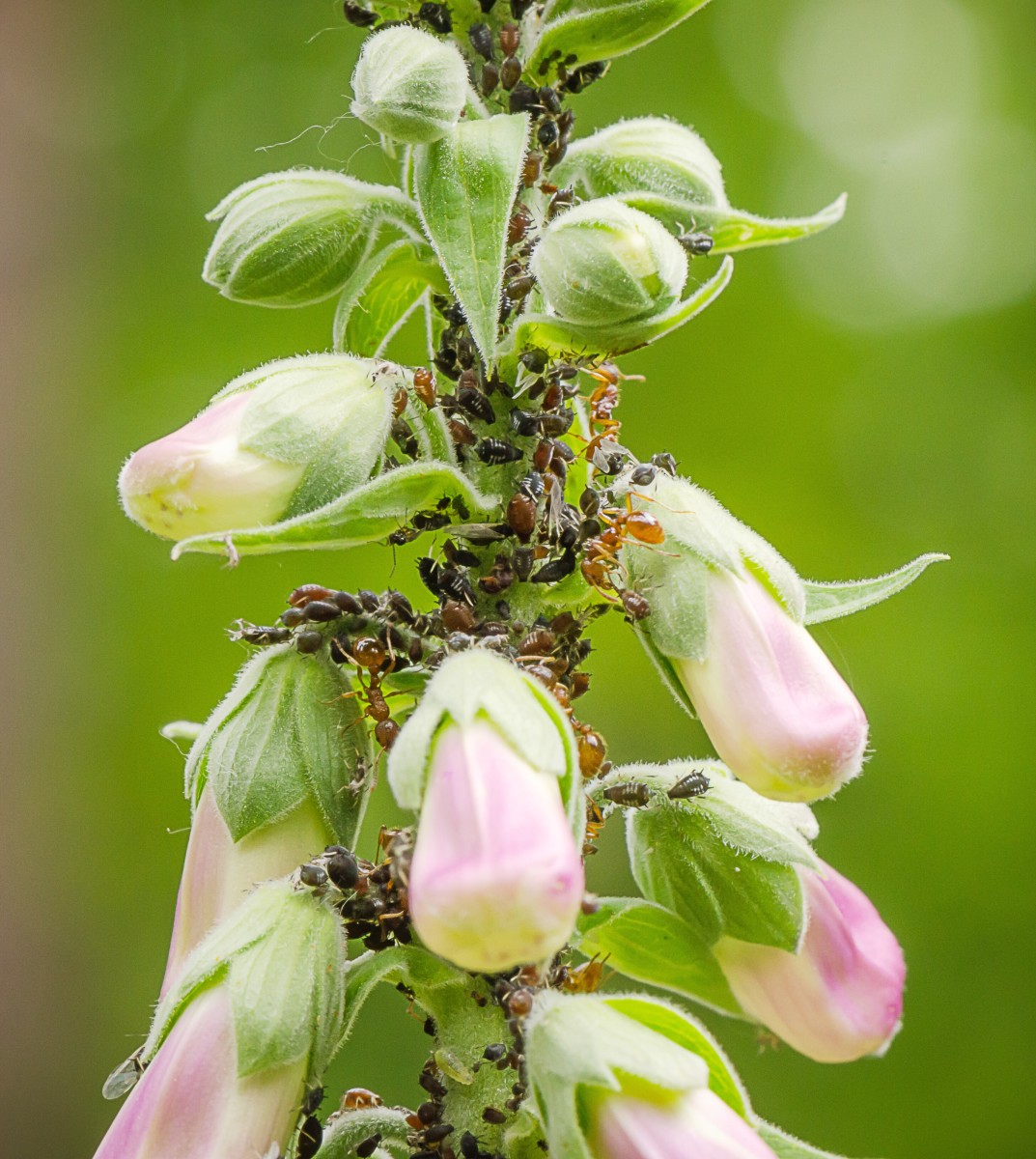 Ants and aphids on a foxglove