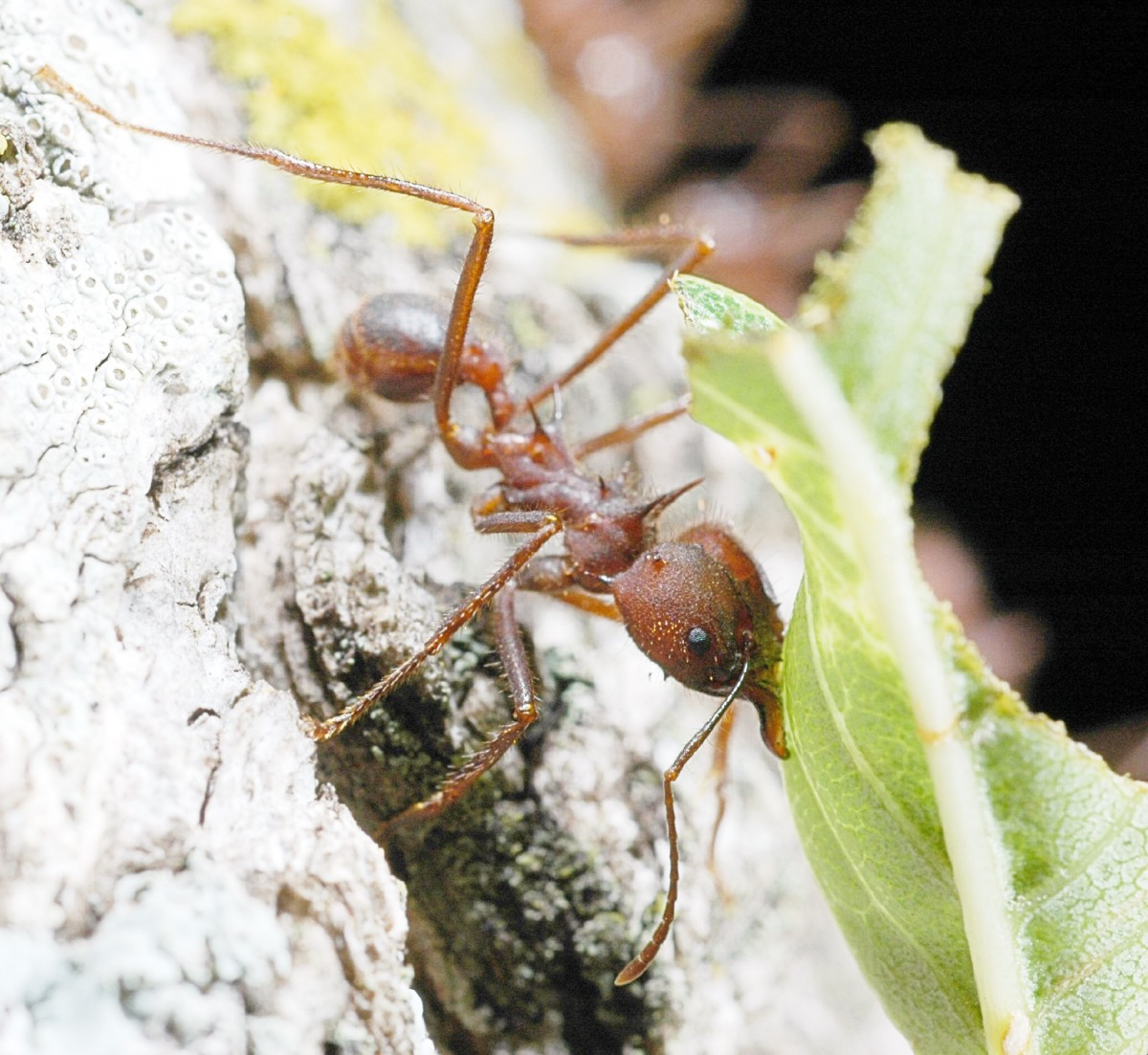 A leafcutter ant at work
