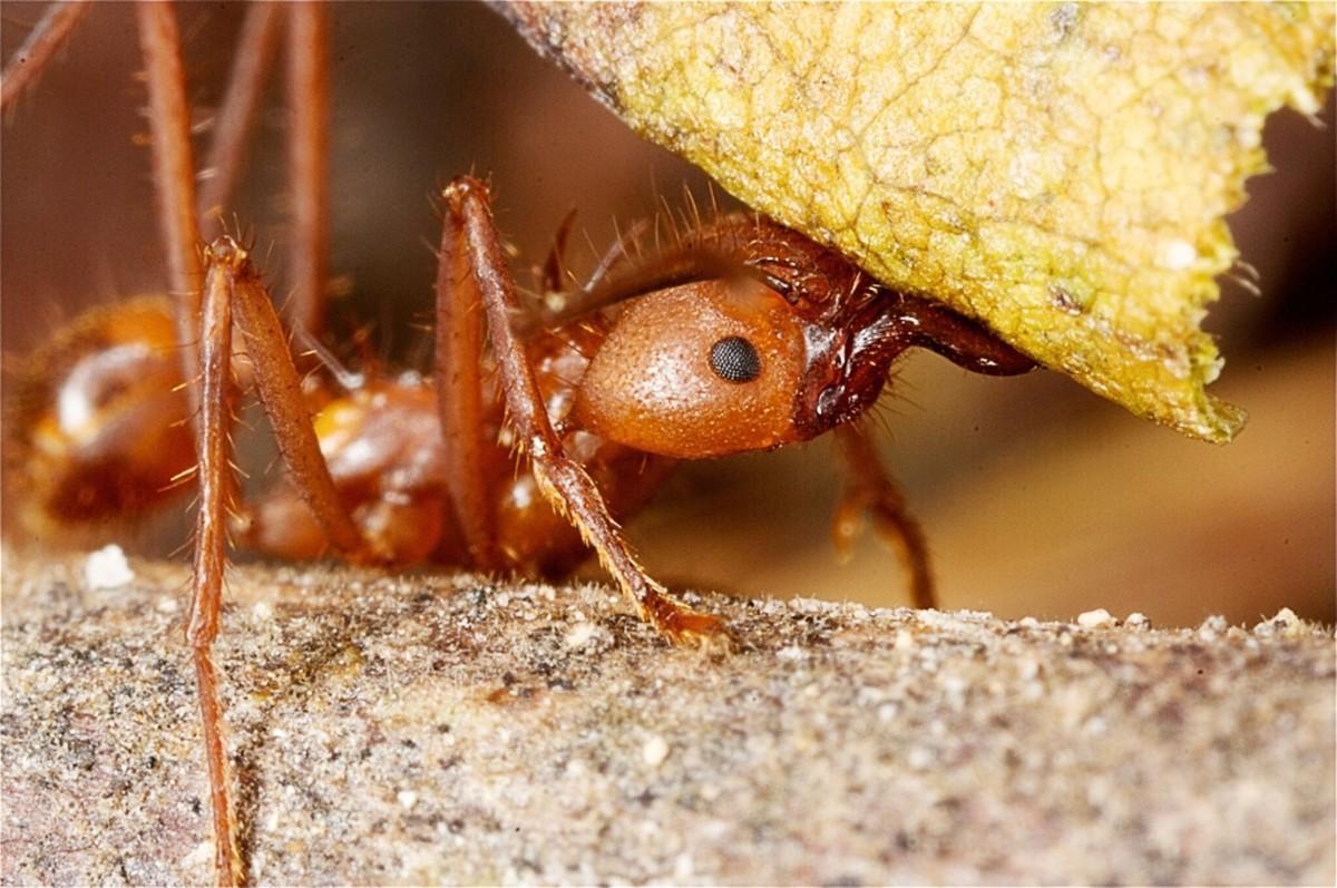 A Honduran leafcutter ant