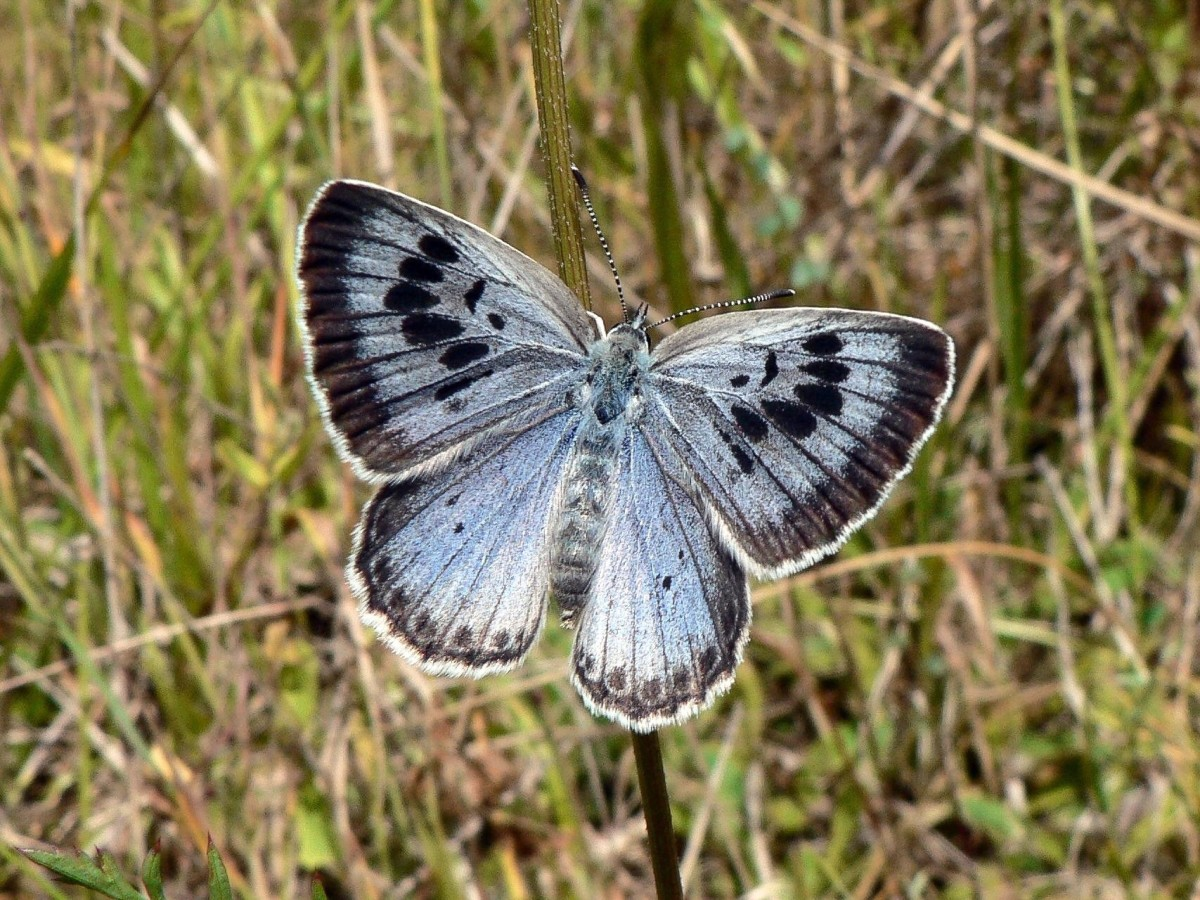The caterpillars of Lycaenid butterflies often have a relationship with ants. This is a Large Blue butterfly, or Maculinea arion