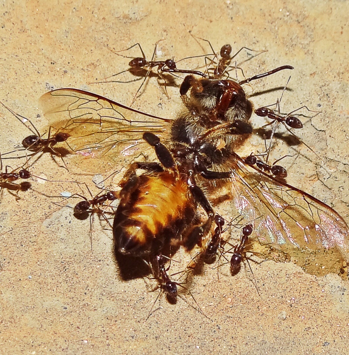 Carpenter ants carrying a dead bee