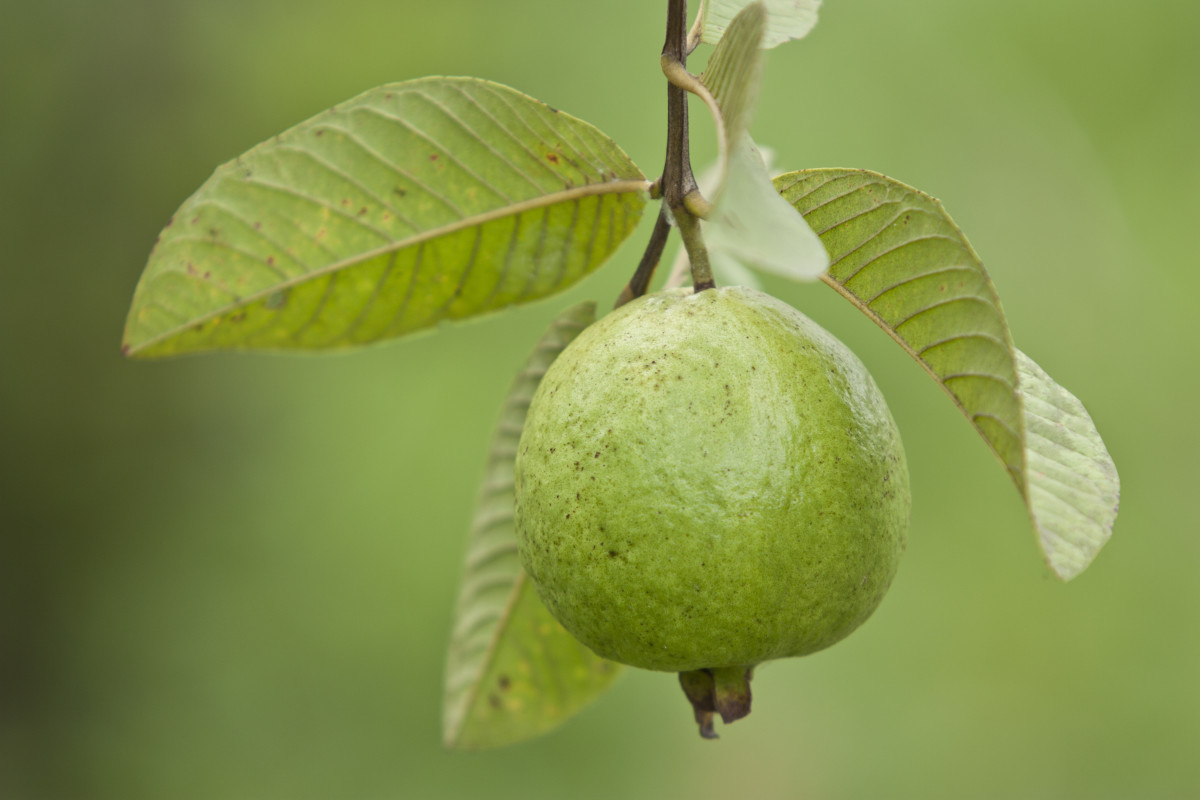philippine-legend-the-legend-of-guava
