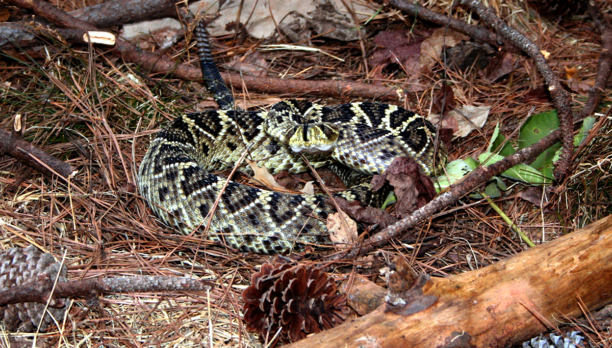 The eastern diamondback is the heaviest rattlesnake in the Americas, it can weigh as much as 26 pounds.  This impressive, venomous snake can strike up to 2/3 of its body length.