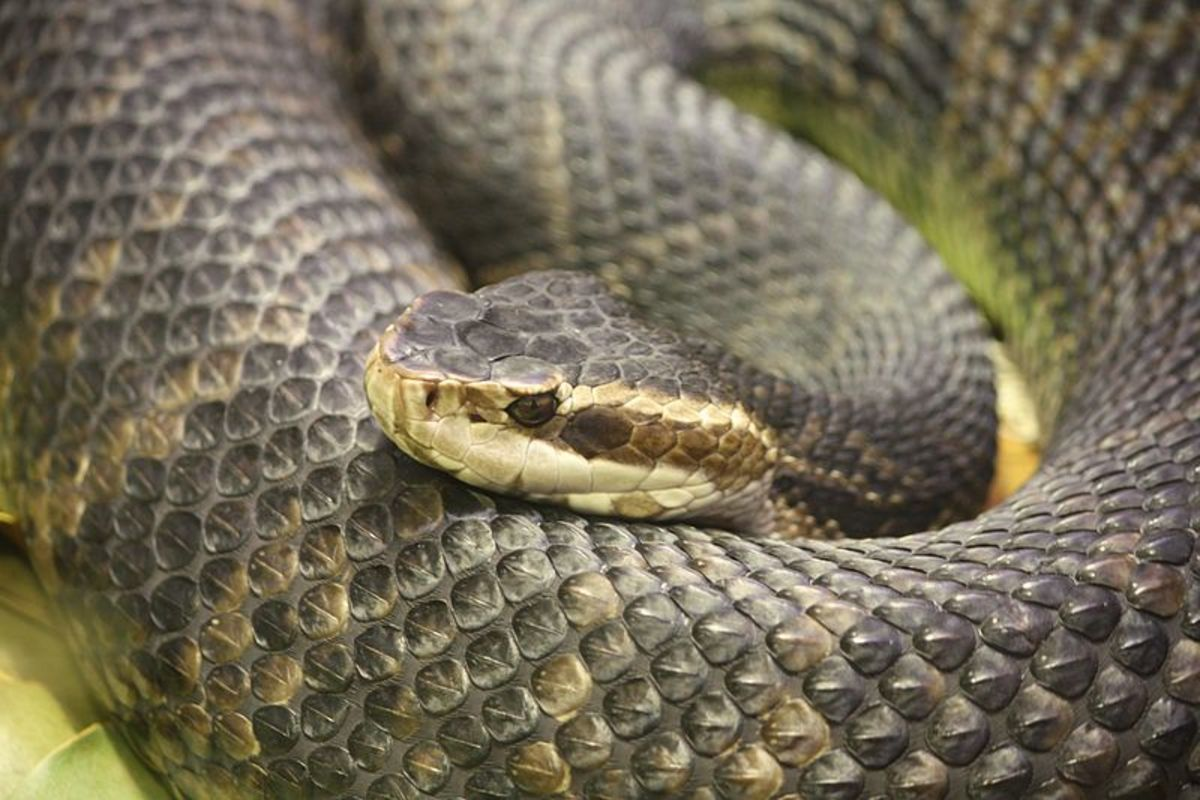 A venomous pitviper subspecies, the Florida cottonmouth is a strong swimmer and normally found in or near water.  Drying water holes are a particular favorite as they can often find suitable prey there.
