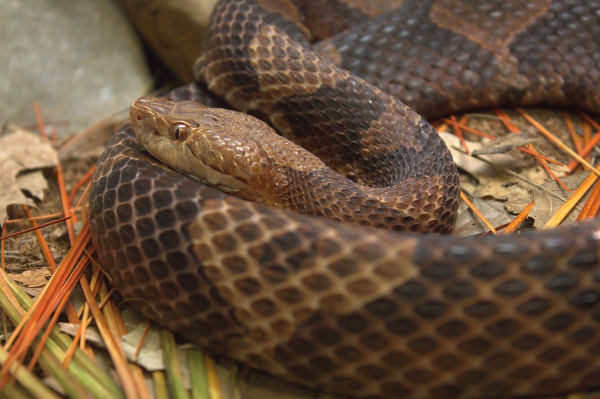 Copperhead snakes are also called a chunk heads and death adders by some people.  This snake is an ambush predator, waiting in a promising position for prey to arrive and then striking at an opportune moment.