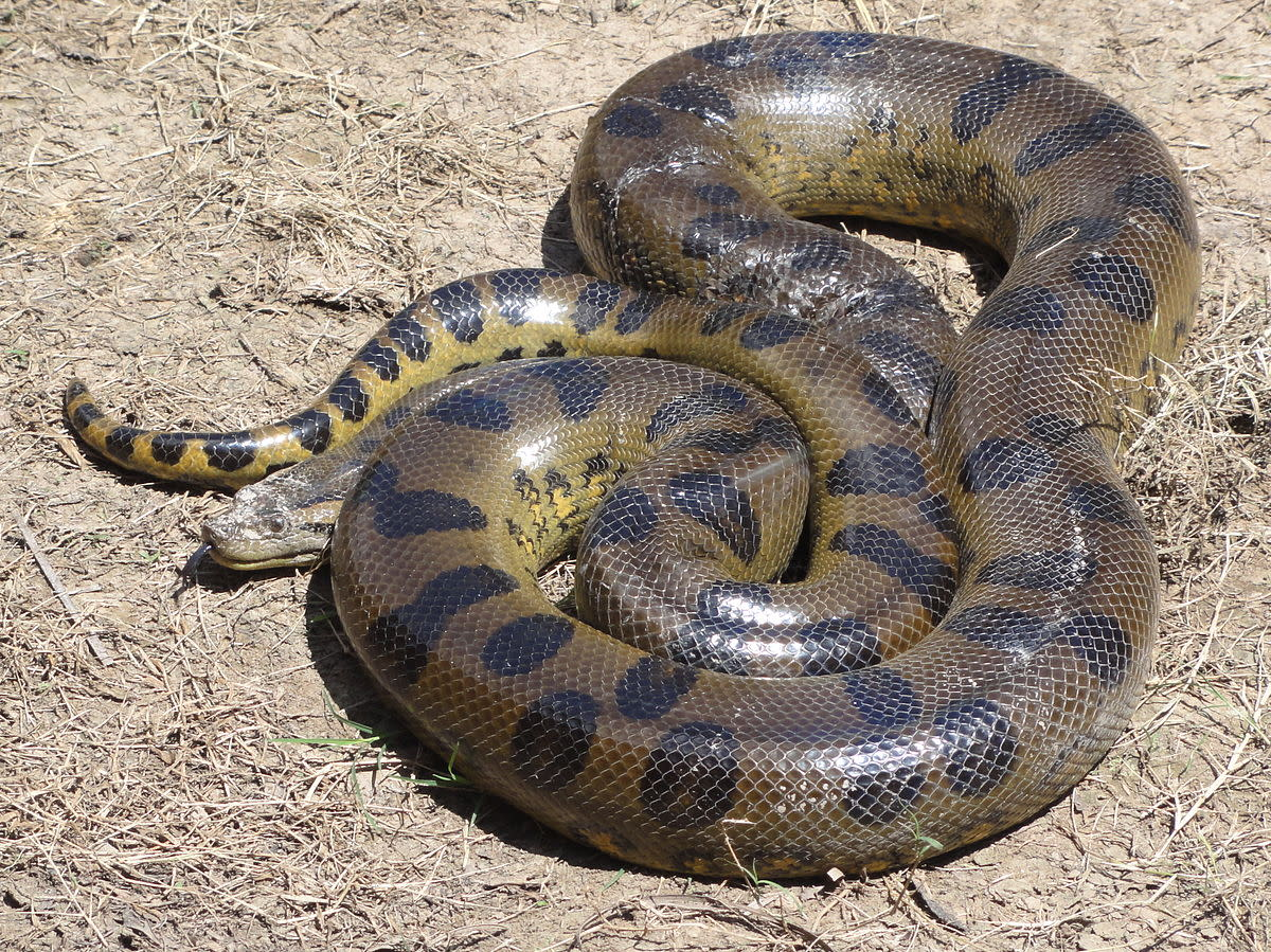 An anaconda (Eunectes murinus) found caught in fishing nets and brought back to the lodge at Requena, Loreto, Peru.