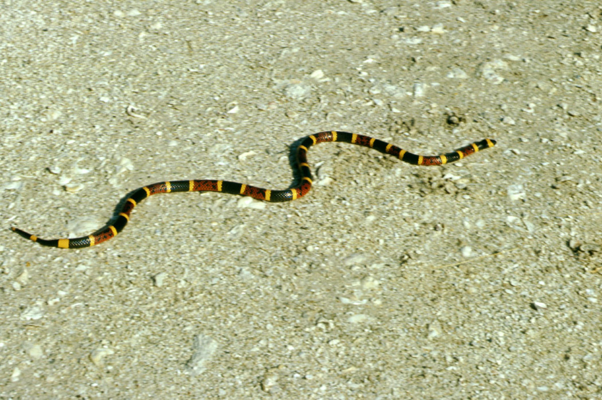 Coral Snake (6 Most Dangerous Snakes in Florida)