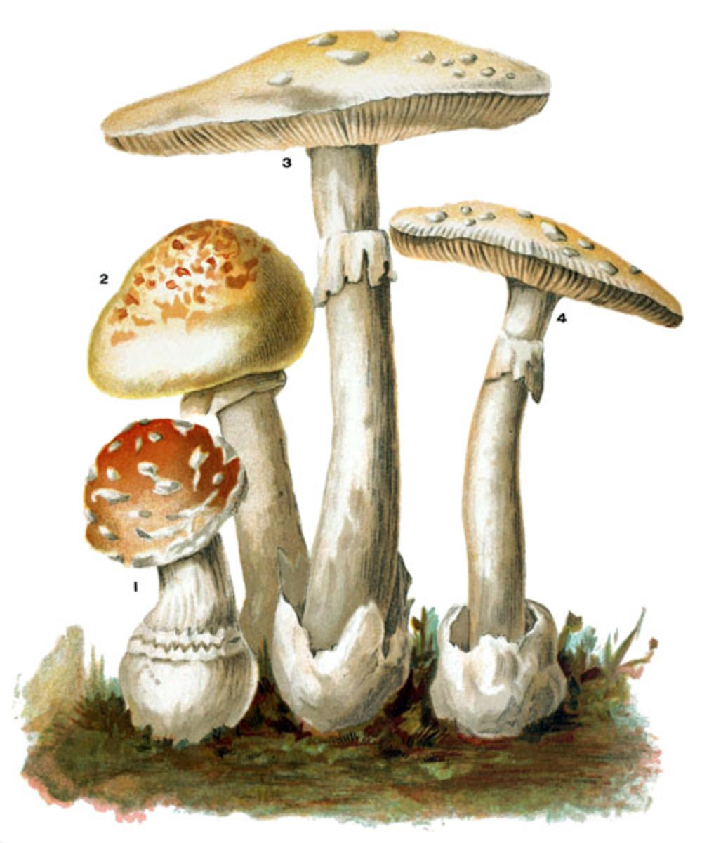 This vintage scientific illustration includes some poisonous Amanitas of the Basidiomycota family.