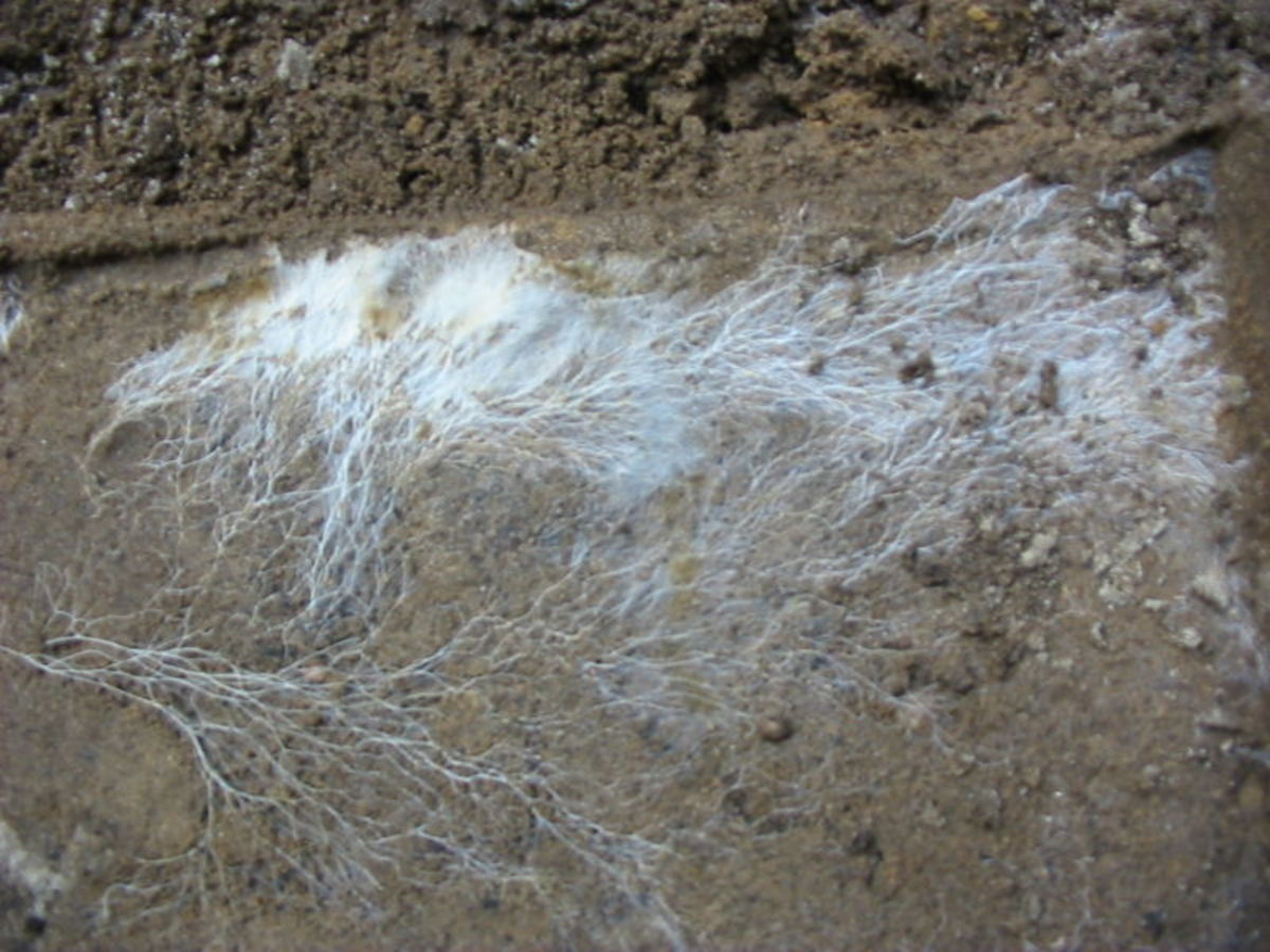"These mushroom ""roots"" are actually a mass of Basidiomycota hyphae growing underground."