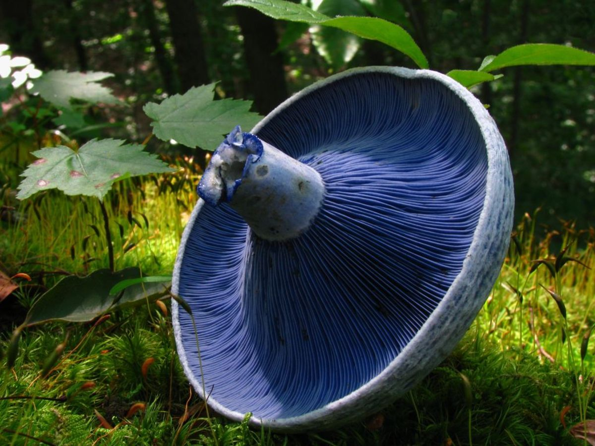 The edible indigo milk cap is from the Russula family. It is found in all kinds of woodlands in the US and Europe and is a popular food in China and Mexico.