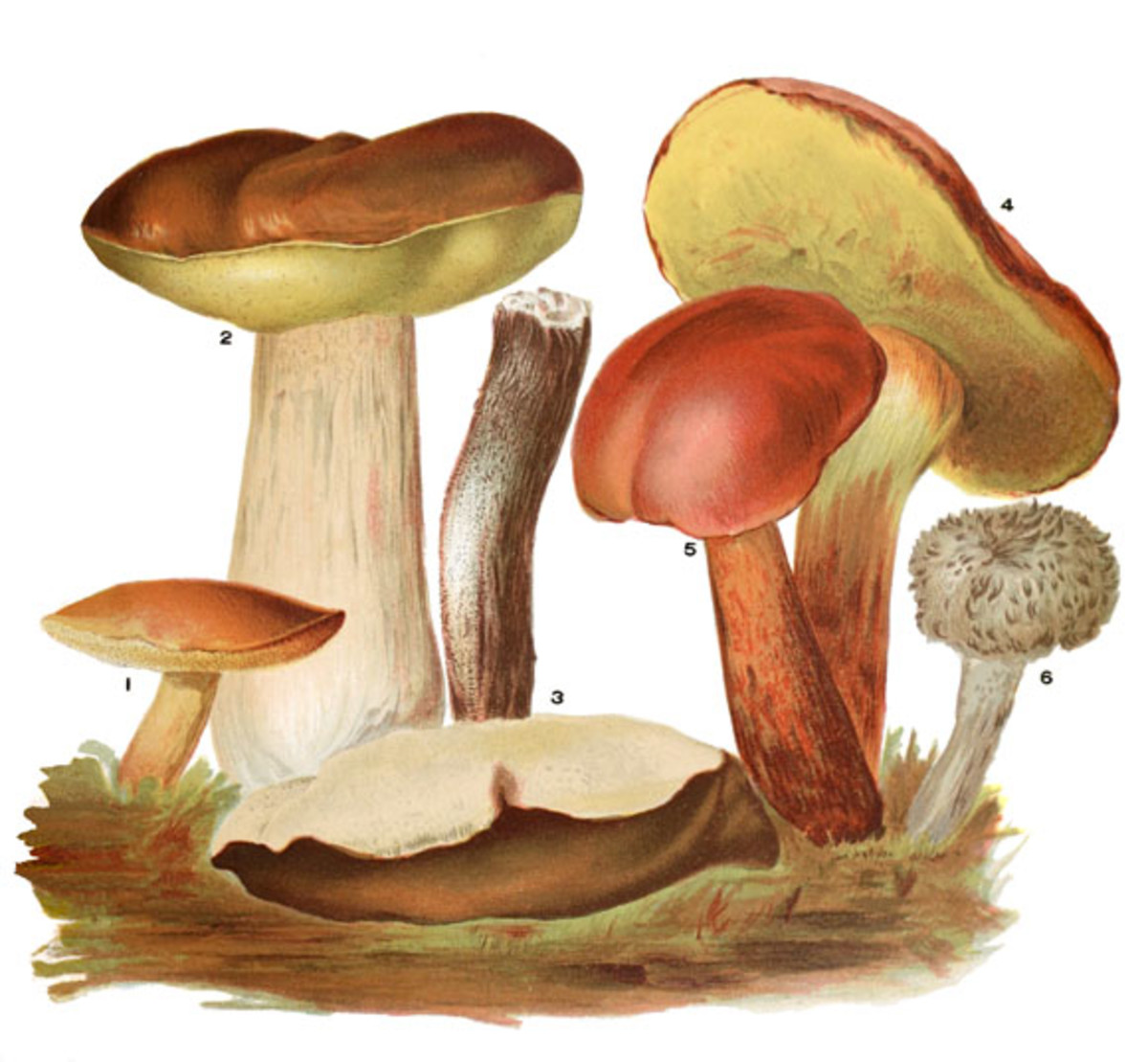Some edible Russulas of the Basidiomycota