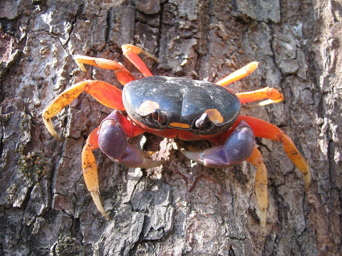 Halloween Crab: Gecarcinus quadratus