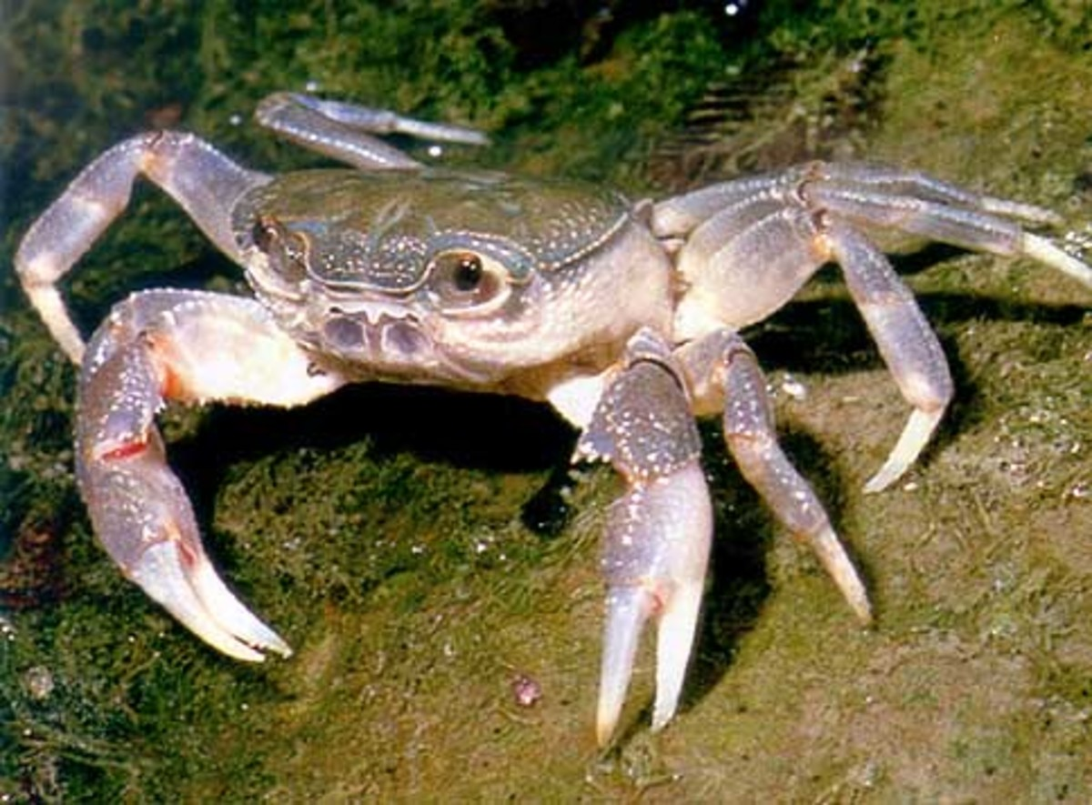 A freshwater crab, Potamon fluviatile, from Southern Europe