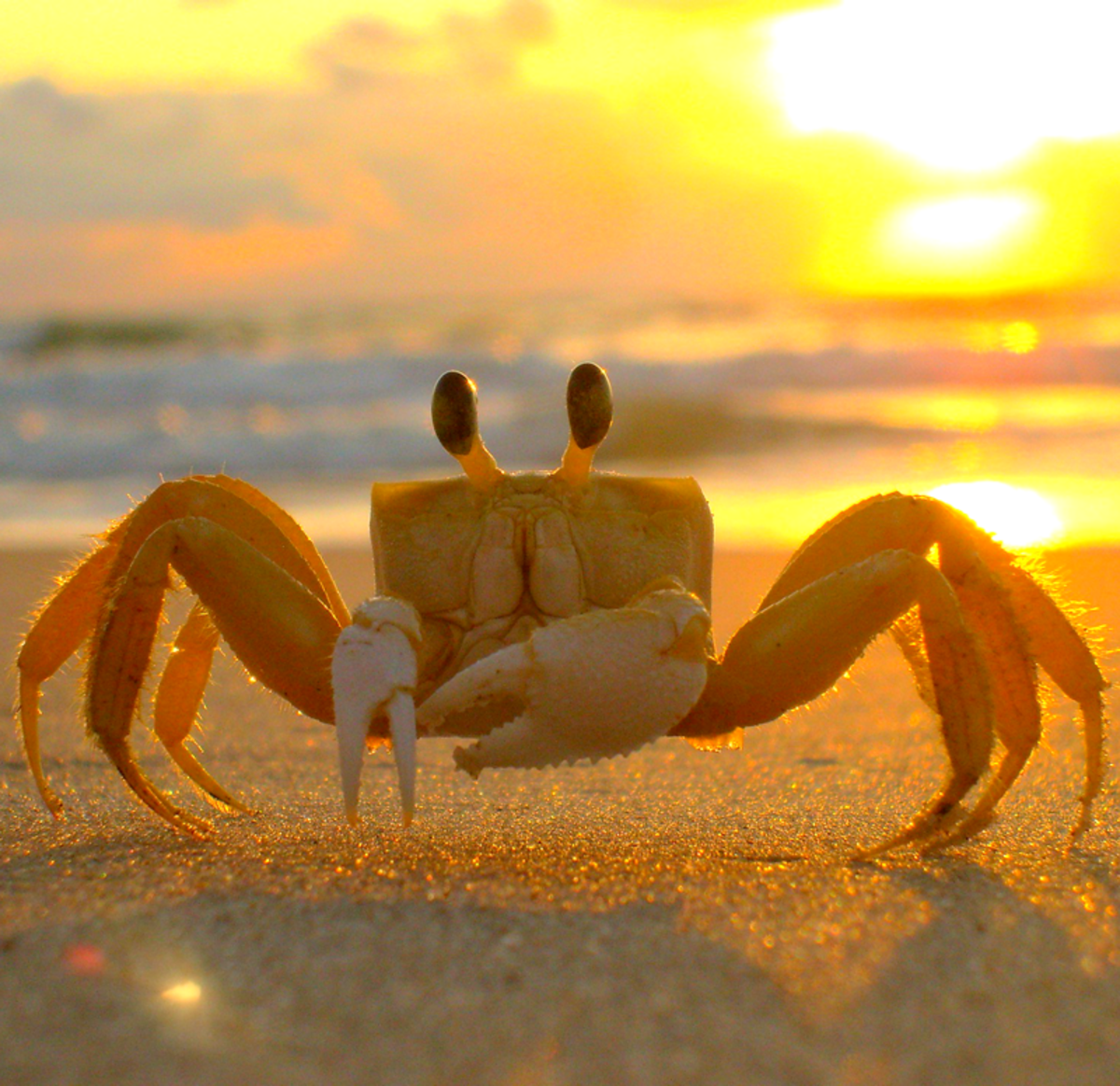 Another kind of ghost crab (Ocypode species), this is the African variety.