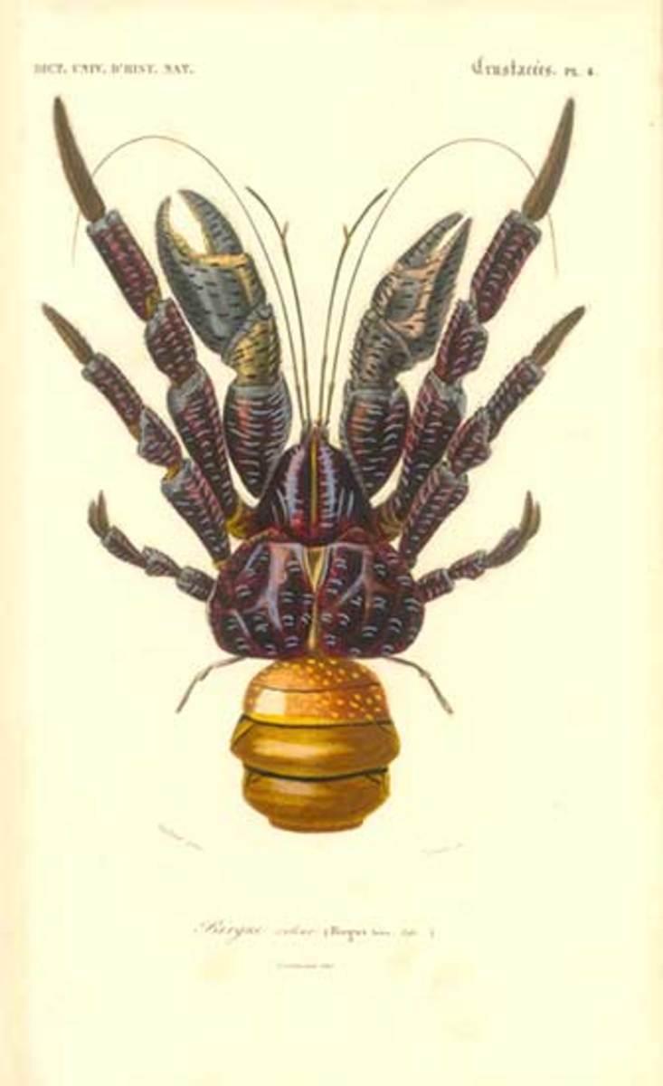 Early illustration of a Coconut crab: Birgus latro