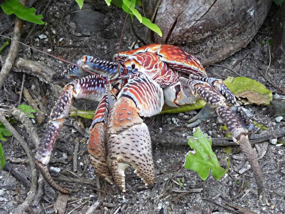 Coconut crab showing formidable claws