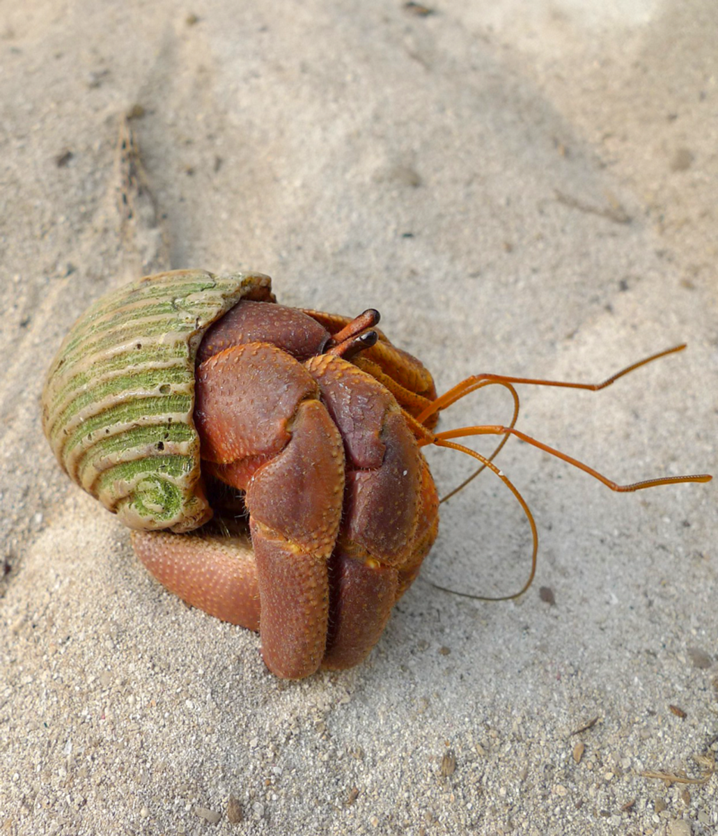 This hermit crab looks like it needs to find a new shell.