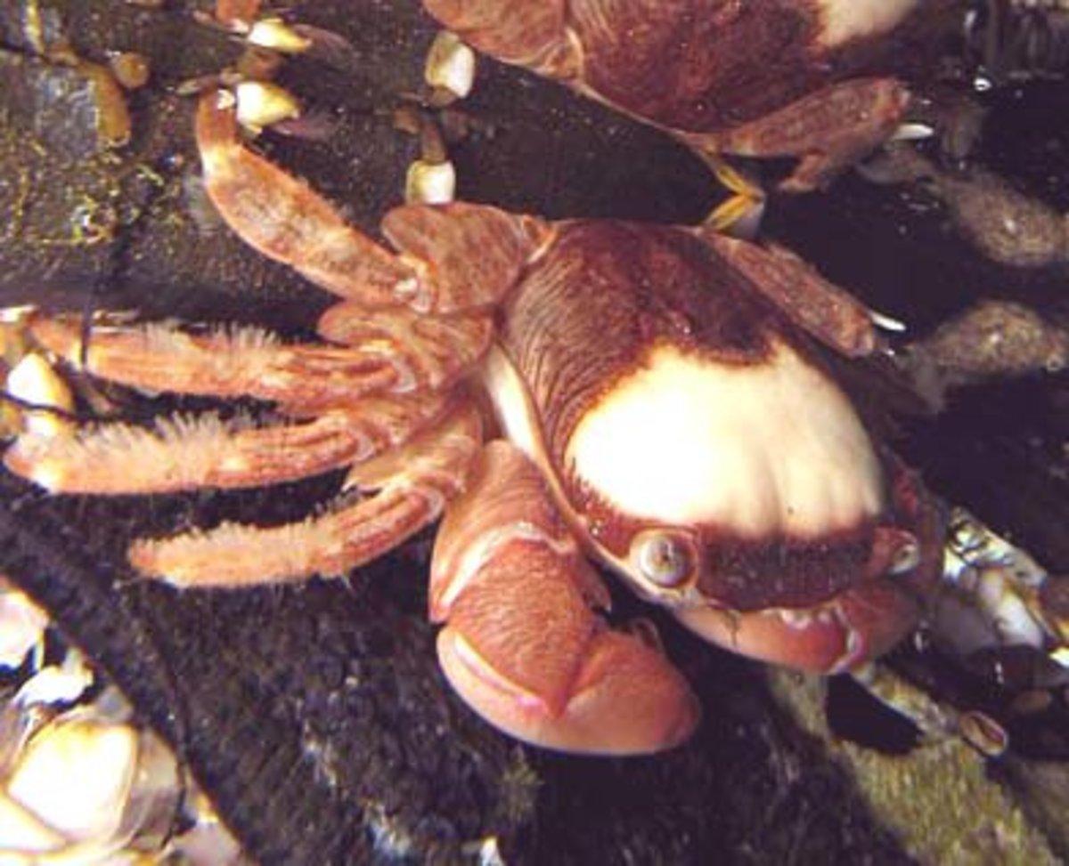 The Columbus Crab