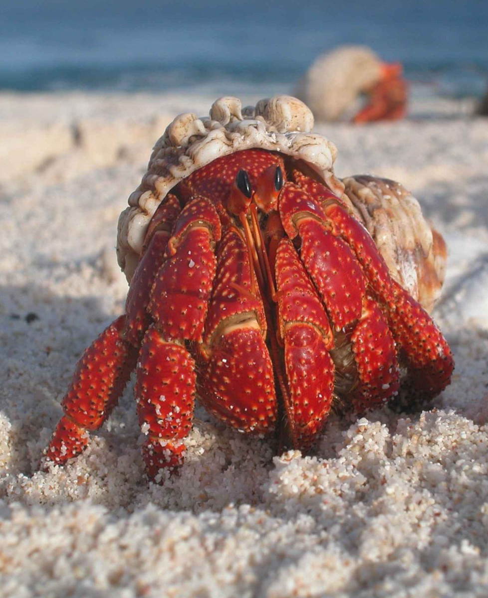 A typical Hermit Crab
