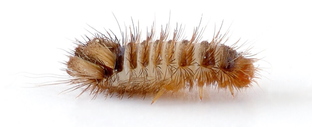 The larva of the varied carpet beetle damages carpets and is sometimes known as a woolly bear.