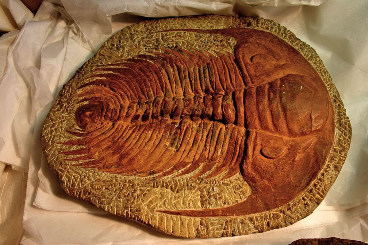 A trilobite from about 500 million years ago