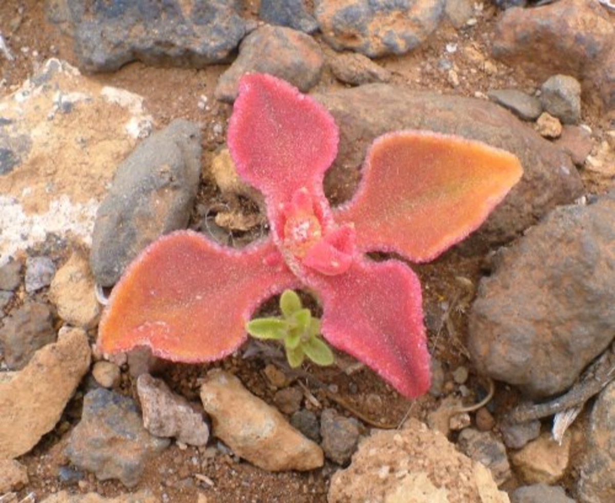 Small Ice Plant Photo by Steve Andrews